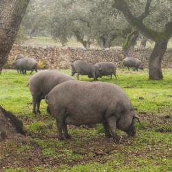 cerdo-montanera-reproducción