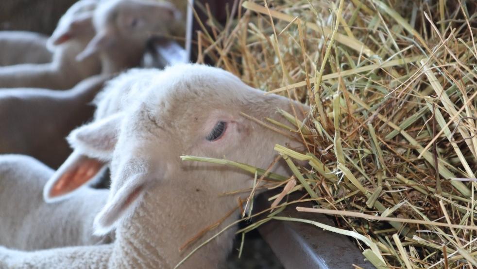 cordero-sheepnet-corsevilla