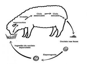 proceso bilogico coccidiosis cordero