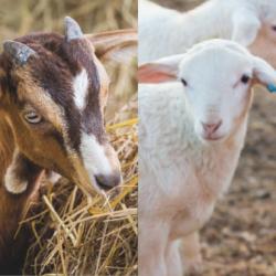 cabra y cordero