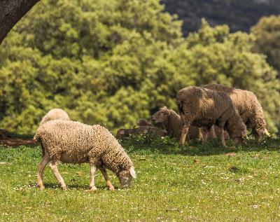 oveja-hierba-comer-corsevilla